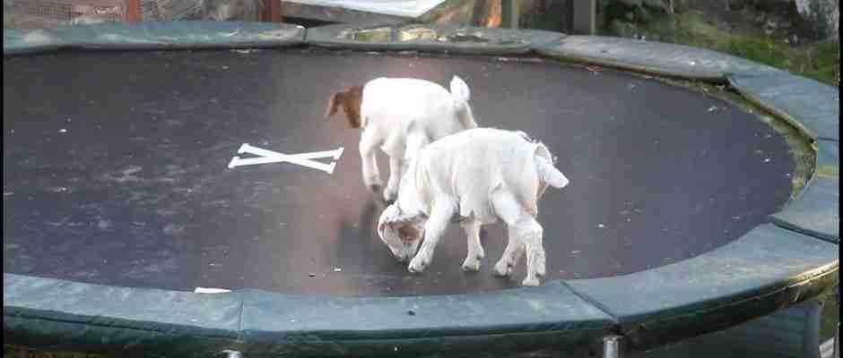 Σκύλοι, γάτες, γουρούνια χοροπηδούν πάνω σε τρομπολίνο. Απολαυστικό βίντεο!