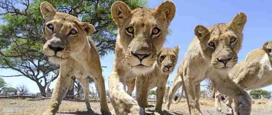 Τοποθέτησε σε ένα τηλεκατευθυνόμενο αυτοκινητάκι μια κάμερα και το έστειλε στα λιοντάρια. Δείτε το βίντεο..