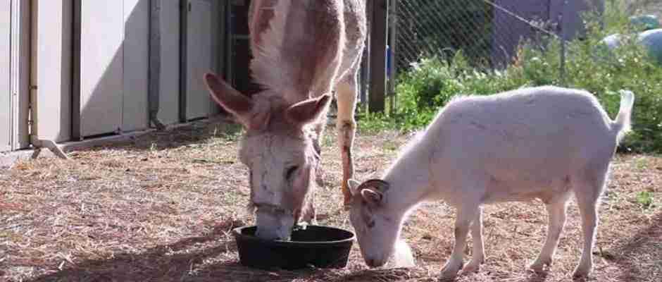 dinfo.gr - Μια κατσίκα αρνείται να φάει μέχρι να δει ξανά τον καλύτερο της φίλο, ένα γαιδούρι! Δείτε το συγκινητικό βίντεο