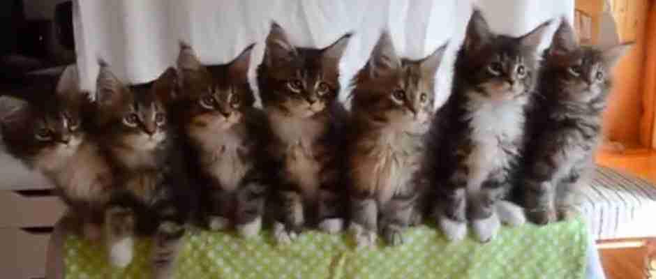 dinfo.gr - 7 μικρά γατάκια αντιδρούν σε ένα γυαλιστερό αντικείμενο! Το βίντεο που θα σας φτιάξει τη μέρα