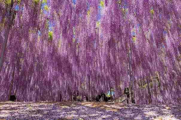 Δέντρο γλυσίνα 144 ετών στην Ιαπωνία θυμίζει υπέροχο ροζ ουρανό! - dinfo.gr