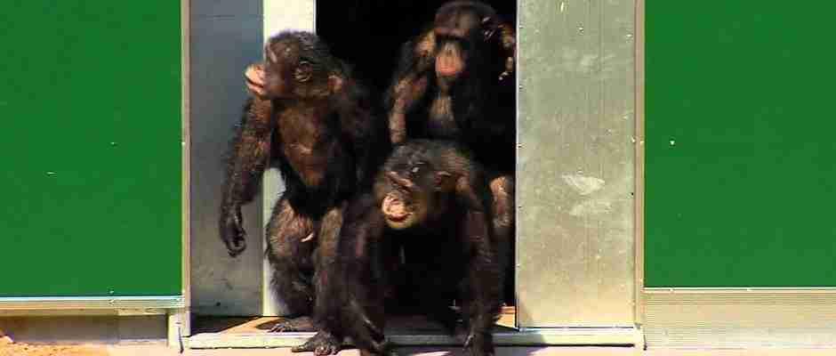Χιμπατζήδες που έζησαν όλη τους τη ζωή σε ένα εργαστήριο, βλέπουν για πρώτη φορά το φως του ήλιου!