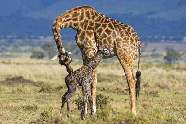 Βρίσκονταν για σαφάρι στην Αφρική όταν είδε μια καμηλοπάρδαλη να κάνει κάτι πολύ παράξενο