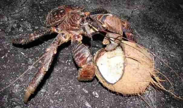 Αν ζείτε σε κάποιο νησί του Ειρηνικού υπάρχει πιθανότητα να βρείτε αυτό το πλάσμα στην αυλή σας