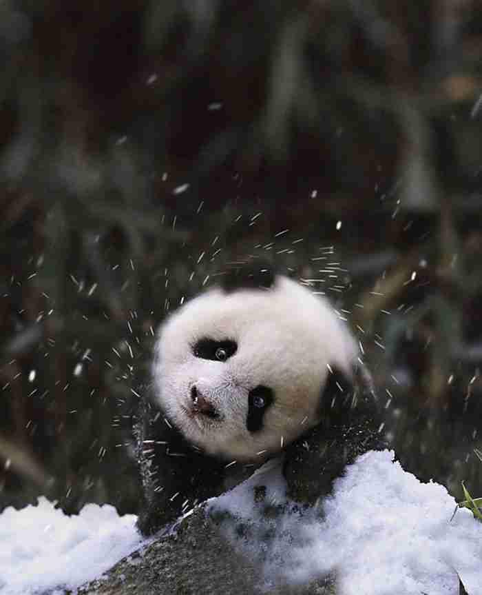 # 6 Ένα Μωρό Panda βλέπει χιόνι
