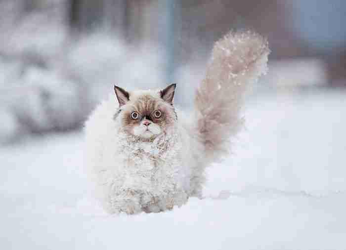 # 2 Αυτή η περσική γάτα ανακαλύπτει το χιόνι