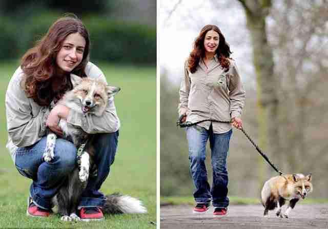 Η αλεπού που μεγάλωσε με τους ανθρώπους και νομίζει ότι είναι σκύλος!