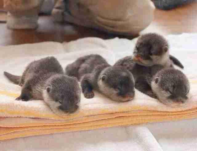 Αυτά τα μωρά βίδρες μωρών που αποκοιμήθηκαν πάνω στη πετσέτα.