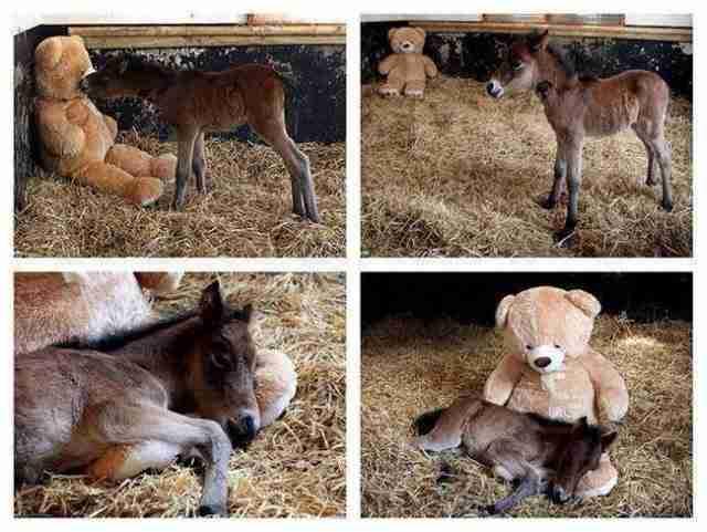 Αυτό το μικρό άλογο που δεν μπορεί να ζήσει χωρίς το αρκουδάκι του