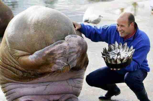 Η αντίδραση αυτού του θαλάσσιου ίππου μόλις του έκαναν δώρο για τα γενέθλια του ένα κέικ με ψάρια.