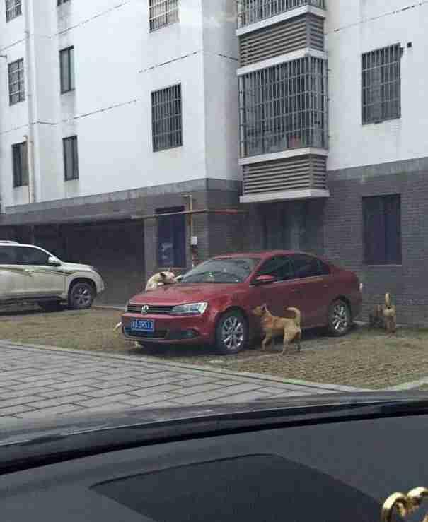 Ένας οδηγός κλώτσησε ένα σκυλί για να παρκάρει. Δεν μπορείτε να φανταστείτε την εκδίκηση του σκύλου