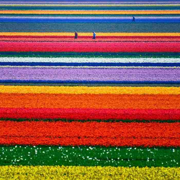 Λιβάδια λεβάντας, Γαλλία