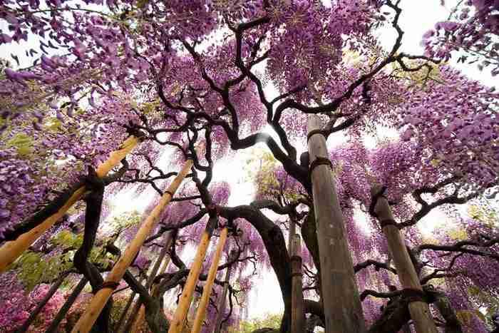 Ashikaga Flower Park, Ιαπωνία