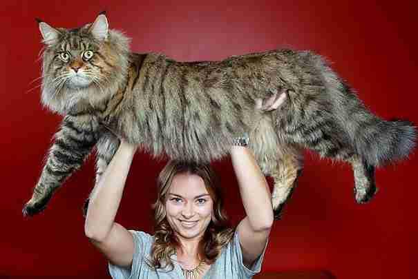 Οι 20 μεγαλύτερες γάτες στον κόσμο! Και όχι.. δεν είναι Photoshop.