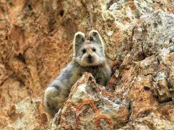 Το Ίλι πίκα. Ένα ζώο που εντοπίστηκε για πρώτη φορά έπειτα από 20 χρόνια το περασμένο καλοκαίρι στην Κίνα.