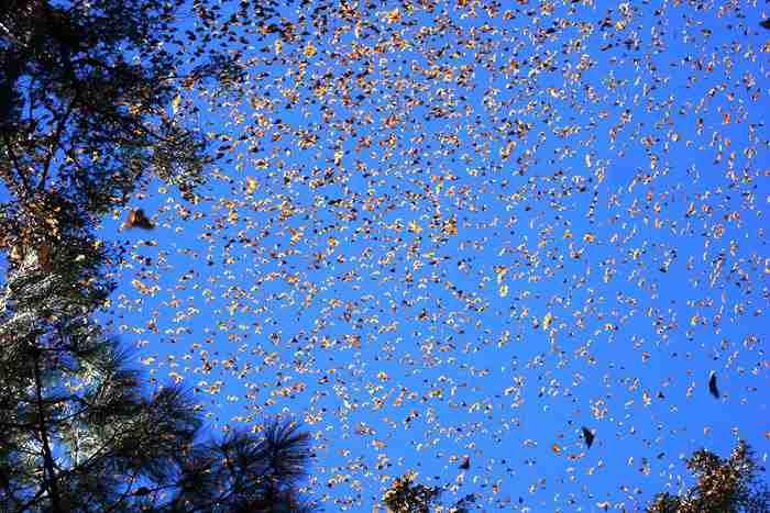 Η μεγάλη μετανάστευση των πεταλούδων Monarch
