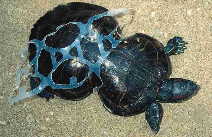 Μια χελώνα παγιδευμένη σε ένα πλαστικό σκουπίδι