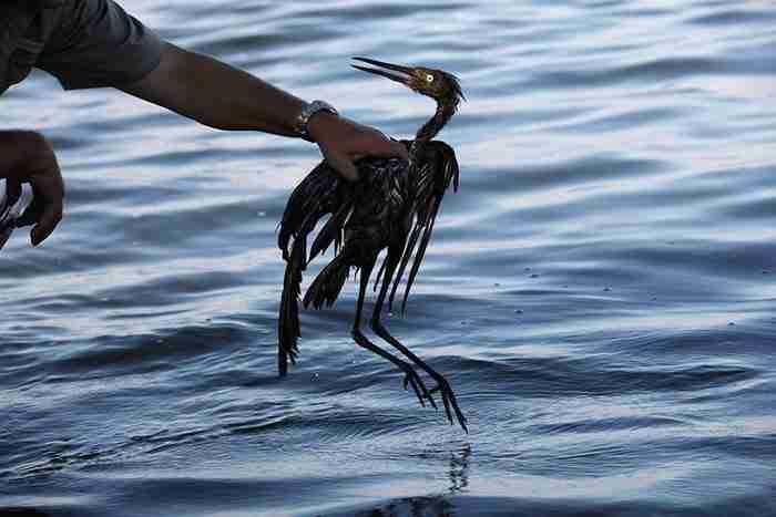 Πουλιά σε πετρελαιοκηλίδα