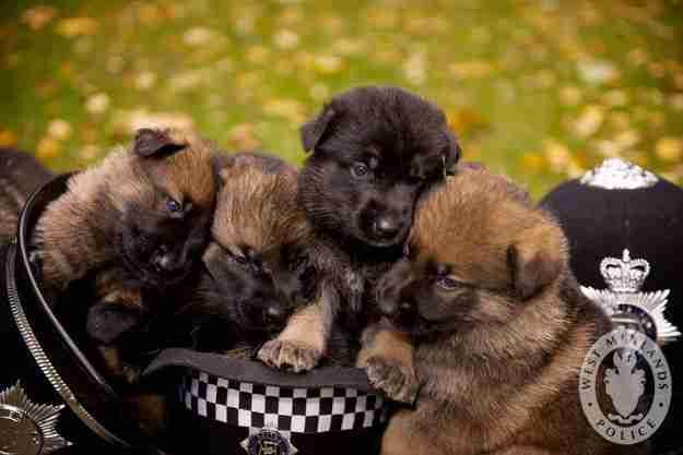 Αυτά τα αστυνομικά κουτάβια που προετοιμάζονται πυρετωδώς για τη μεγάλη μέρα που θα αναλάβουν δράση!