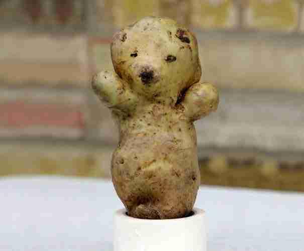 Μια πατάτα που θυμίζει ένα μικρό αρκουδάκι