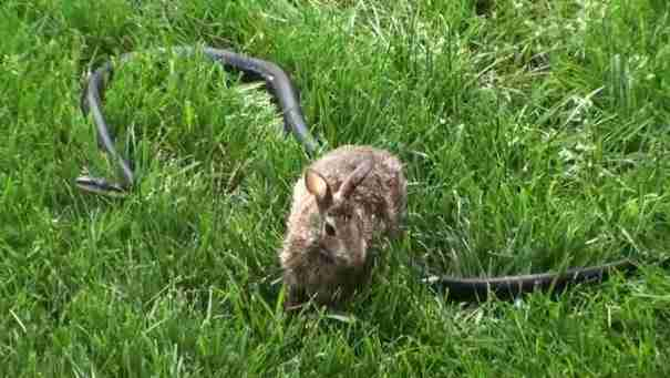 Μια μαμά κουνέλα παλεύει με ένα μεγάλο μαύρο φίδι για να προστατεύσει τα μωρά της