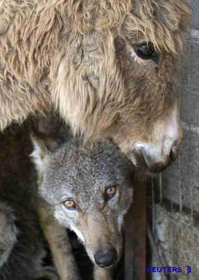 Έδωσε ένα γέρικο γαϊδουράκι σε ένα λύκο για να τον ταίσει. Τα ζώα όμως είχαν άλλη γνώμη!