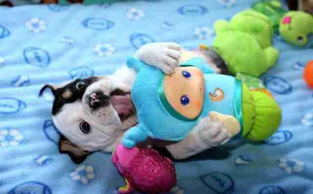 Αυτό το κουτάβι που γεννήθηκε χωρίς λεκάνη και πίσω πόδια, χρειάζεται αγάπη!