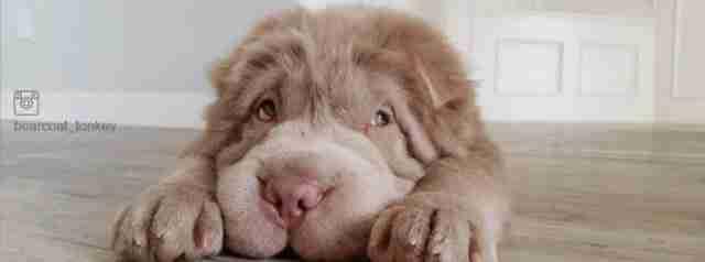 Μοιάζει με λούτρινο αρκουδάκι. Αλλά είναι απλά ένα σπάνιο σκυλάκι!