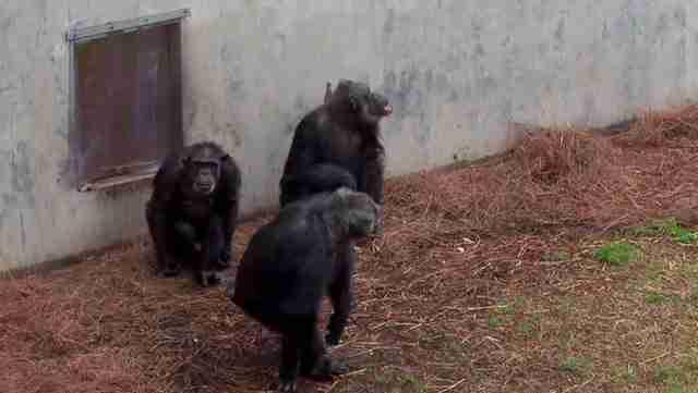 Χιμπατζήδες πειραματόζωα βλέπουν για πρώτη φορά τον ουρανό. Η αντίδραση τους συγκινεί..