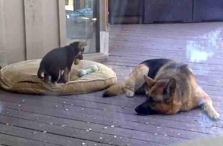Ένα μικρό κουτάβι αρνείται να πέσει για ύπνο. Παρακολουθήστε την αντίδραση της μαμάς του...