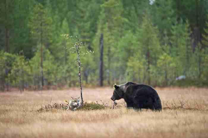 Αυτό το απίθανο ζευγάρι εθεάθη από τον Φιλανδό φωτογράφο Lassi Rautiainen.