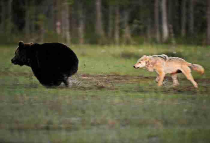 """«Κανείς στην Ευρώπη δεν έχει δει ξανά στο παρελθόν αρκούδες και λύκους να ζουν τόσο κοντά και να γίνονται φίλοι""""."""