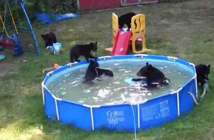 Μια αρκούδα με τα μικρά της έκαναν κατάληψη στην αυλή μιας οικογένειας! Δείτε τι έκαναν στα βίντεο
