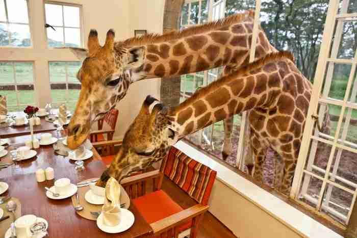 Έχετε πάρει ποτέ πρωινό παρέα με μια καμηλοπάρδαλη; Με δυο;