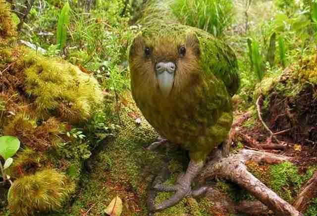 Αυτό είναι το κακαπού, γνωστό και ως παπαγάλος-κουκουβάγια.