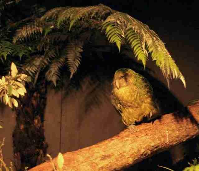 Τα κακαπού είναι μεγάλοι, νυχτόβιοι παπαγάλοι που δεν πετάνε.