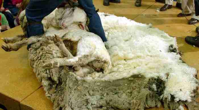 Γνωρίστε τον Σρεκ, το πρόβατο που κρύβονταν σε μια σπηλιά επί 6 χρόνια για να αποφύγει το κούρεμα