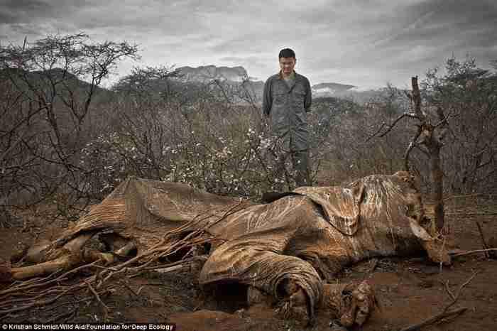 Ένας ελέφαντας που σκοτώθηκε από λαθροθήρες, αφέθηκε να σαπίσει.