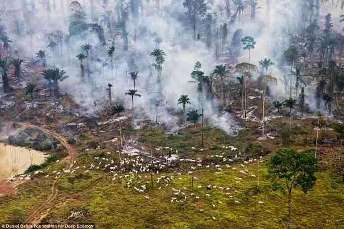 Ένα τροπικό δάσος στις φλόγες. Οι πολλές άσπρες κουκκίδες είναι κατσίκες που βοσκούσαν στο δάσος.