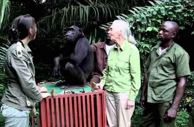 Συγκινητικό βίντεο: Χιμπατζής αγκαλιάζει τη γυναίκα που την έσωσε!