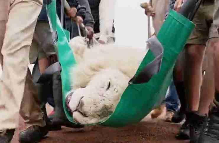 Οδοντίατρος έσωσε ένα όμορφο αρσενικό λιοντάρι και στη συνέχεια το άφησε ελεύθερο στην Άγρια φύση