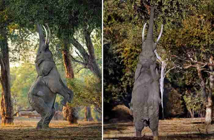 Ένας ελέφαντας στέκεται στα πίσω πόδια του για να φτάσει μερικά φρούτα.