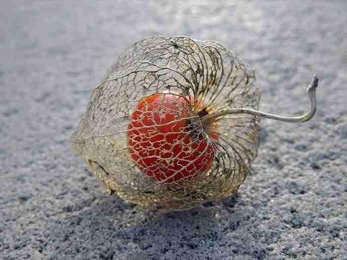 """Το """"κινέζικο φανάρι"""", ένα λουλούδι που ανθίζει το χειμώνα και ξεραίνεται κατά τη διάρκεια της άνοιξης."""