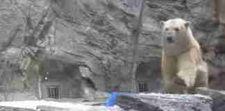 Μια μικρή πολική αρκούδα κινδυνεύει να πνιγεί! Παρακολουθήστε την αντίδραση της μαμάς της..