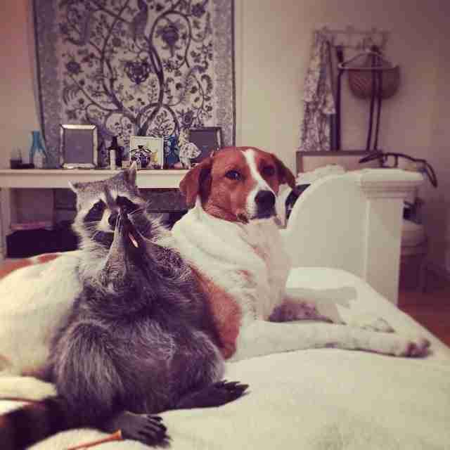 Έσωσαν ένα ορφανό ρακούν, το μεγάλωσαν και τώρα νομίζει ότι είναι σκύλος!