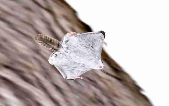 Έχετε δει ιπτάμενους σκίουρους; Μάλλον είναι τα πιο χαριτωμένα γούνινα ζώα της γης!
