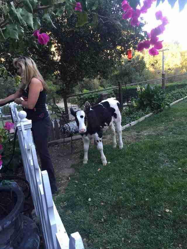 Γνωρίστε τον Γολιάθ, την αξιολάτρευτη μικρή αγελάδα που νομίζει ότι είναι σκύλος