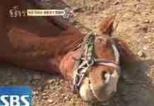 Αυτό το άλογο κάθε φορά που κάποιος προσπαθεί να το ιππεύσει, ξαπλώνει και προσποιείται ότι πέθανε!