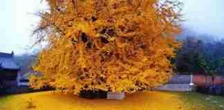 Κάθε φθινόπωρο αυτό το δέντρο ηλικίας 1.400 ετών μεταμορφώνει ένα ναό σε κίτρινη θάλασσα!