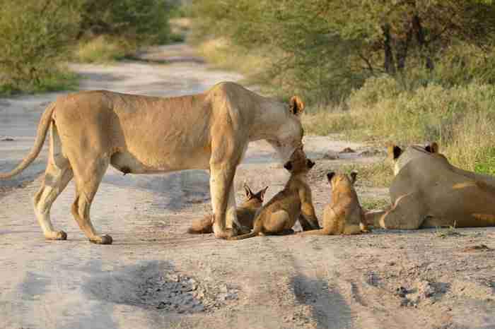 Μόλις αυτή η λέαινα είδε ένα αβοήθητο μωρό αλεπουδάκι έκανε κάτι που είναι δύσκολο να το πιστέψεις!